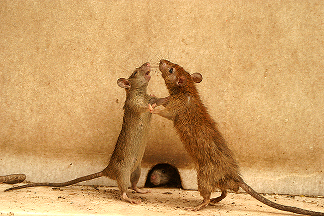 http://www.julieoneill.com/blog/wp-content/uploads/2011/08/rat-fight.jpg